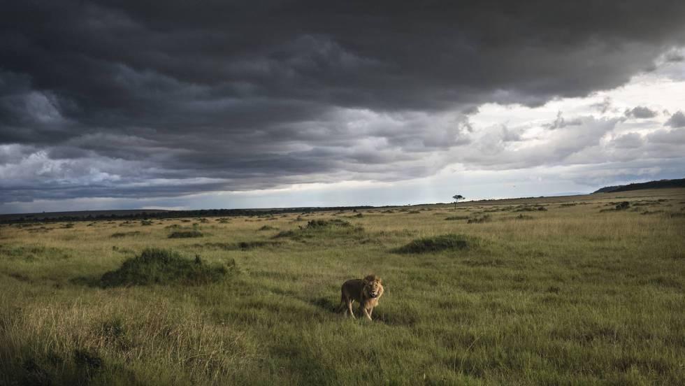 Um leão na reserva nacional de Masai Mara.