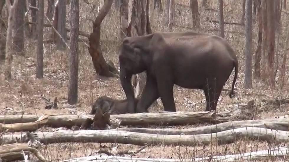 Elefanta tenta ajudar o filhote gravemente ferido pelo ataque de um tigre