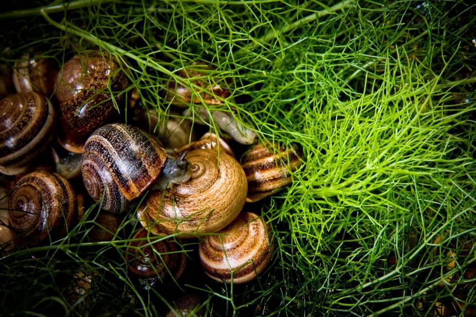 Los caracoles que hace milenios fueron salvajes | Cataluña | EL PAÍS