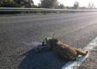Rise in lynx road deaths speeds up protection plans in Andalusia