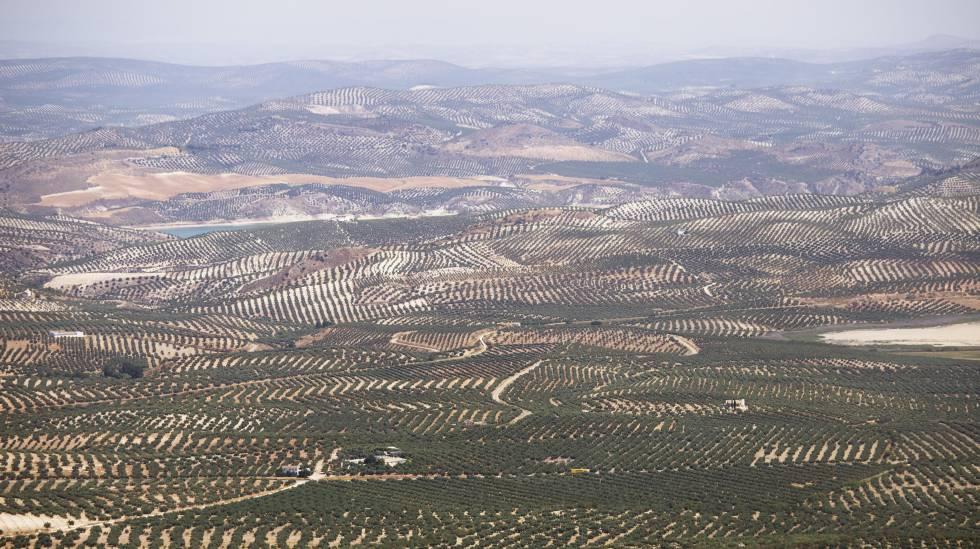 Vistas de cultivo de olivar desde la Piedra de Juan Mateo, en la localidad cordobesa de Luque.
