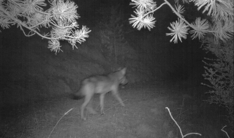 El llop detectat per un parany fotogràfic en el Port del Comte.