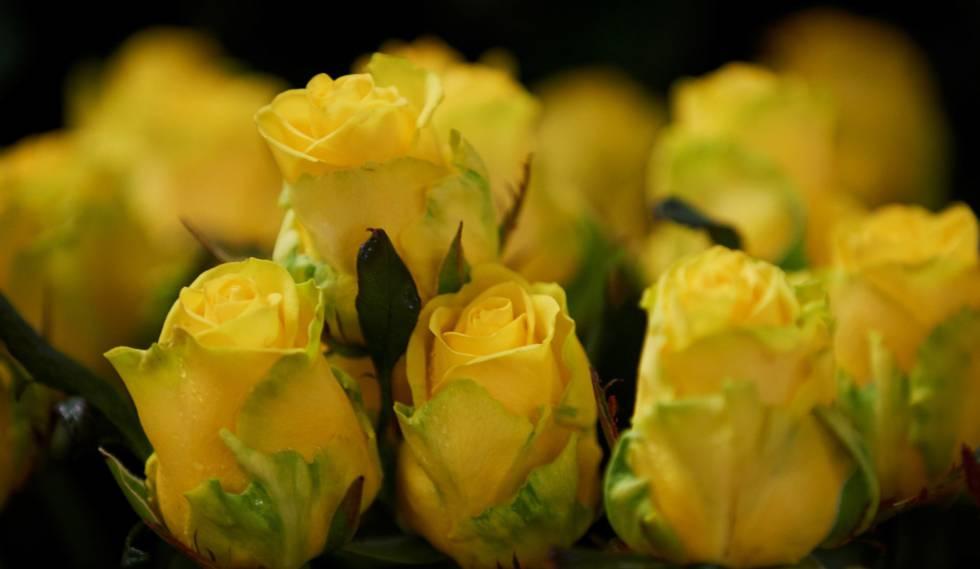 La Rosa Amarilla Crece En Sant Jordi Cataluña El País