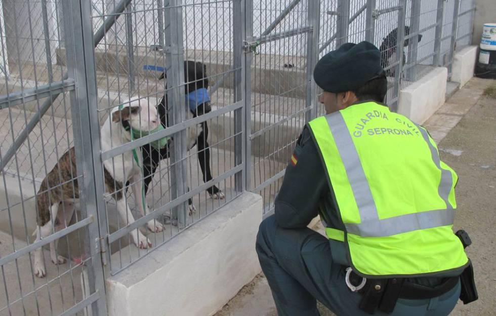 Los perros que mataron a un hombre de Alicante, antes de ser sacrificados. 2486d7ab2d