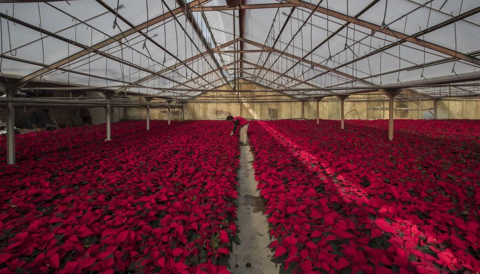 Cultiu de plantes de nadal en un viver de l'empresa Cultius Tolrà a Vilassar de Mar.