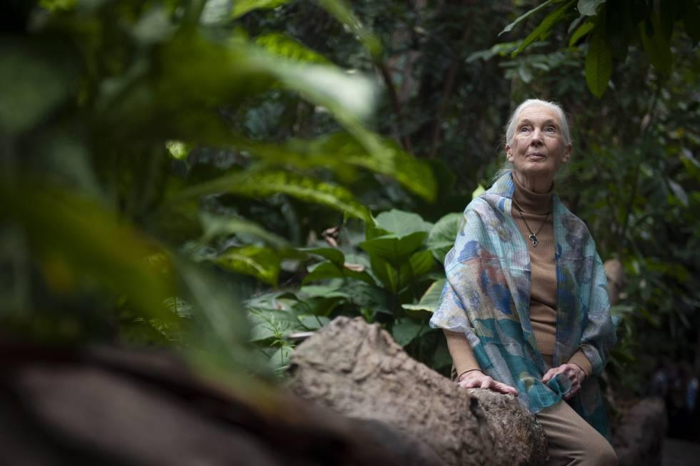 Jane Goodall, dijous en el bosc inundat de CosmoCaixa.