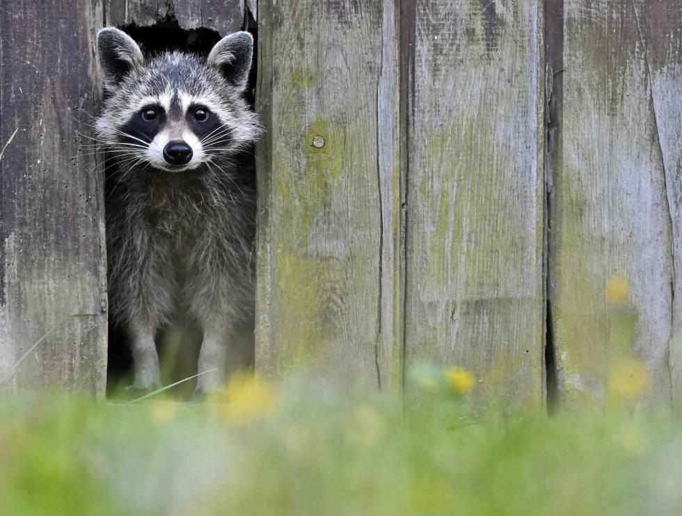 Resultado de imagen para mapache