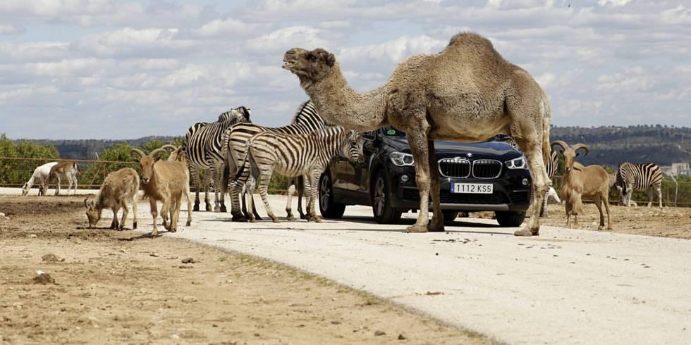 El Otro Zoo De Madrid Es Un Safari A Media Hora Del Centro Madrid El País