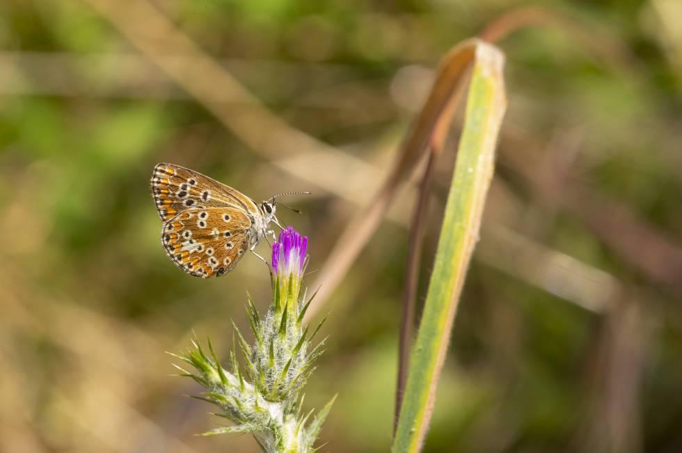 Una mariposa en el Parque Nacional del Guadarrama.