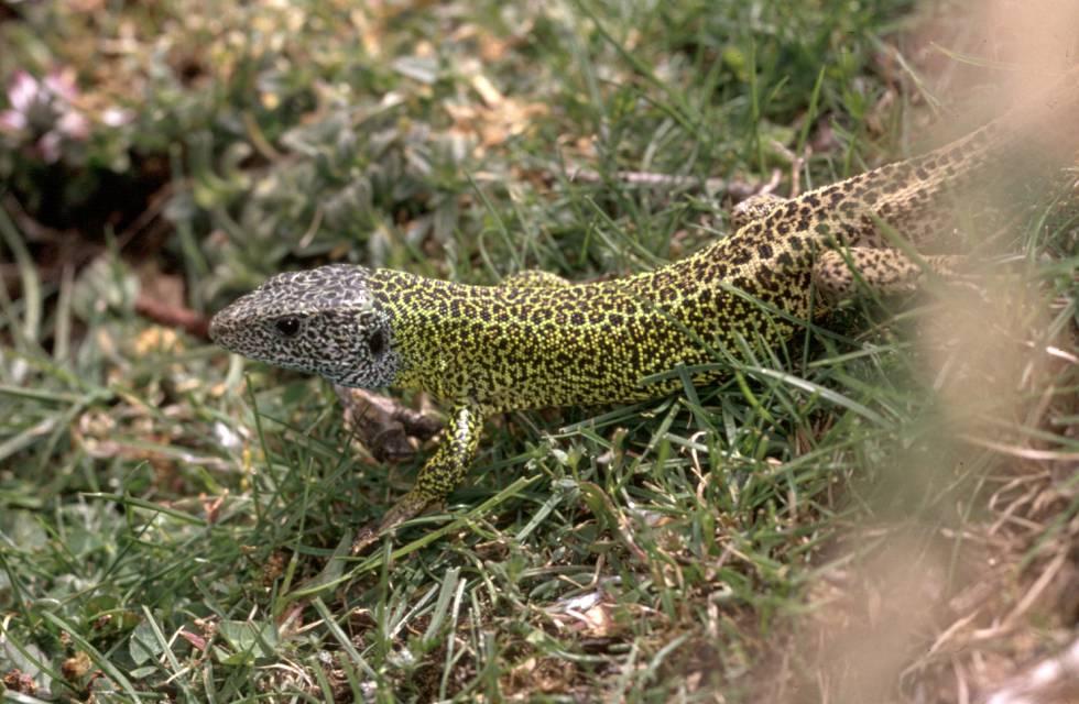 Un ejemplar de lagarto verdinegro.