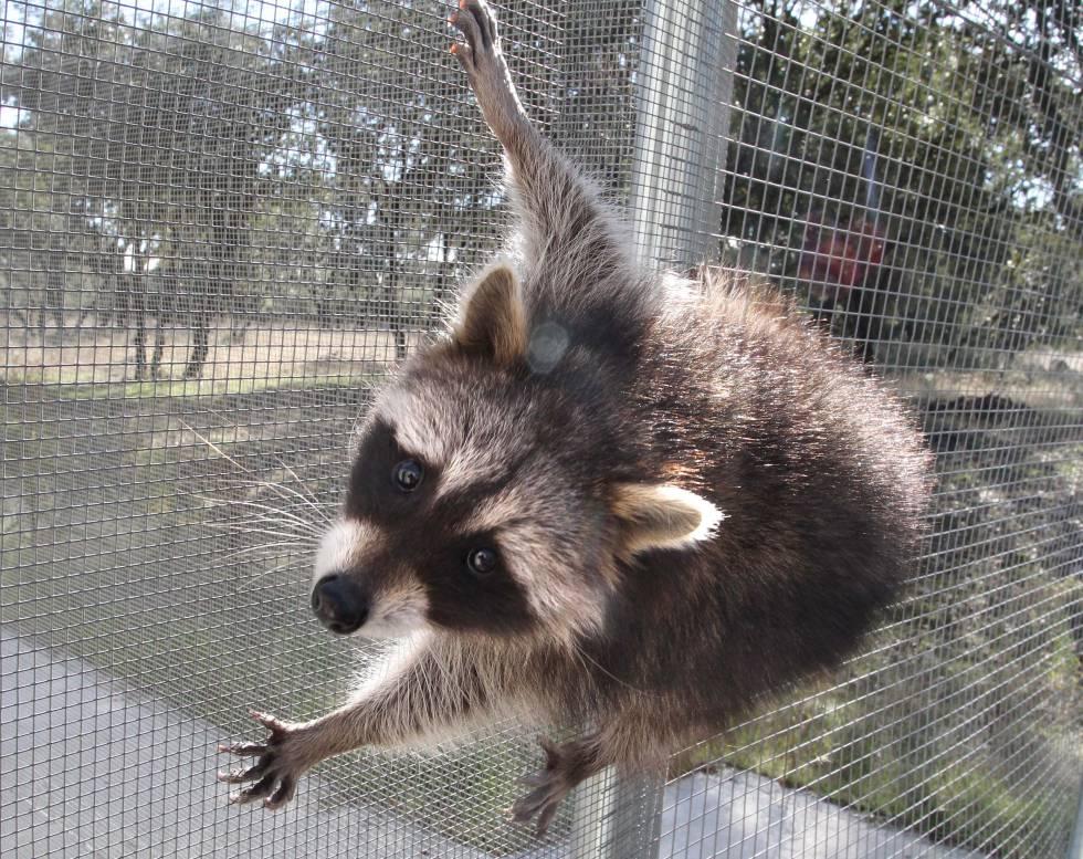 Un mapache en el Centro de Recuperación de Animales Silvestres de la Comunidad de Madrid.
