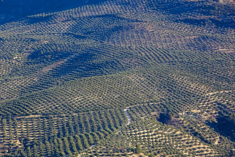 Campos de olivos en Quesada, Jaén.