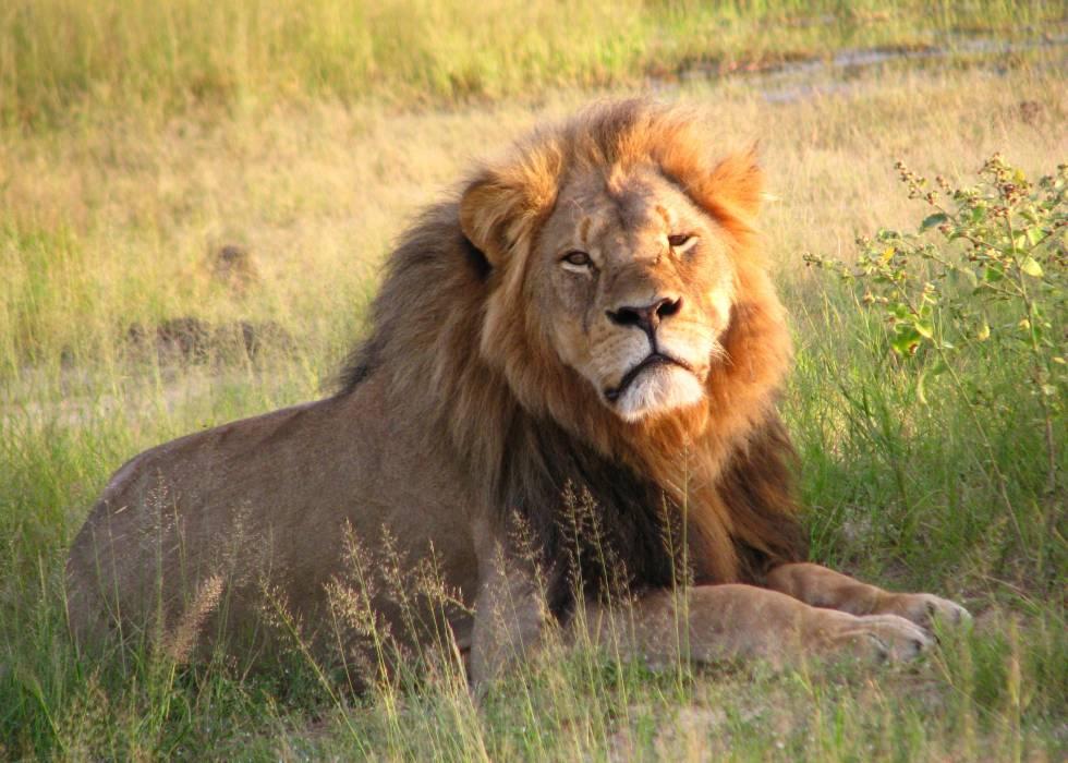 El león 'Cecil' en el Parque Nacional de Hwange (Zimbabue) en 2010.