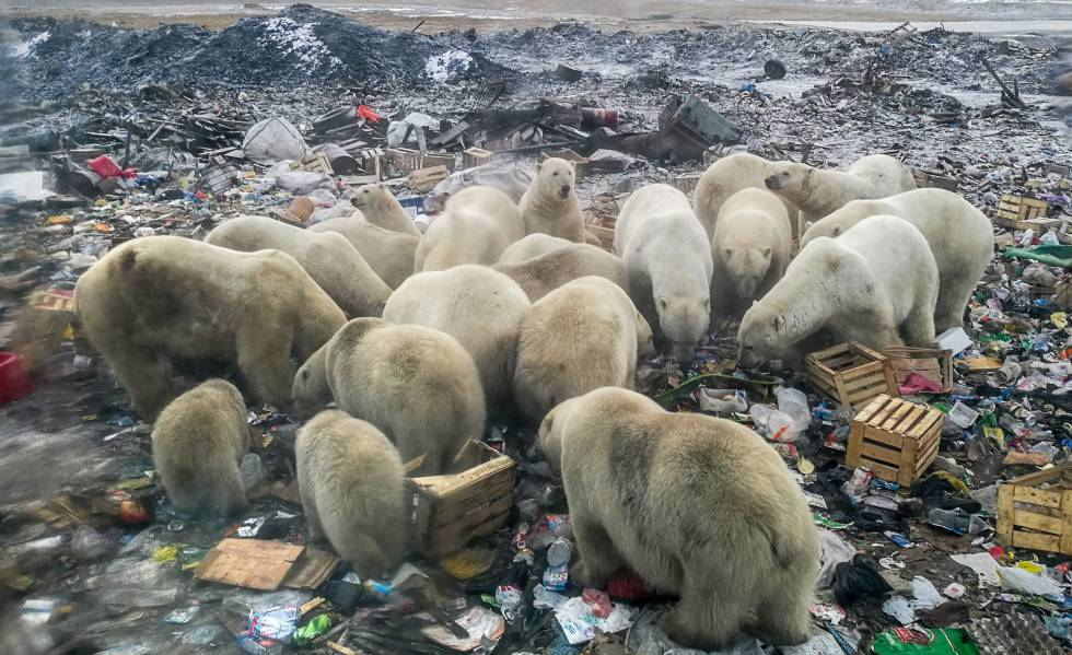 Osos polares en Belushya Guba, en el norte de Rusia.