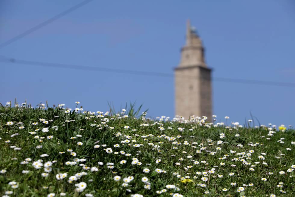 Campo de margaritas al pie de la Torre de Hércules, en A Coruña, el 24 de abril.