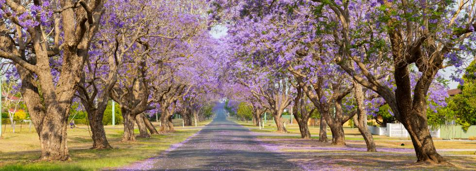 An aisle of jacaranda trees in bloom in Grafton, Australia.