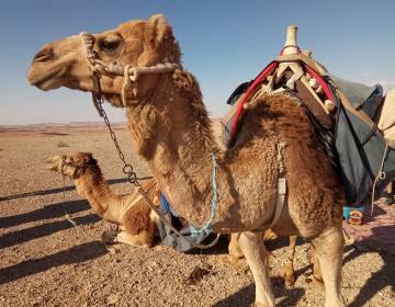Camellos en el desierto de Negev.