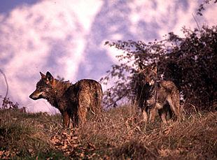 avistamientos de lobos en teruel