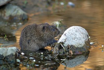 Como atrapar una rata interesting la nueva trampa casera para atrapar ratones muy inteligente - Como atrapar ratones ...
