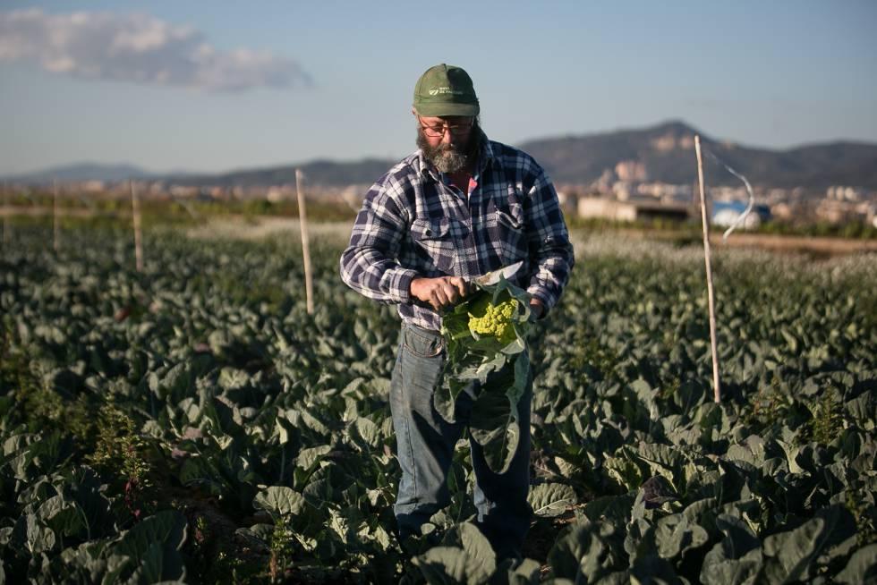 Un agricultor le quita hojas a una coliflor en una explotación agrícola de Sant Boi (Barcelona)