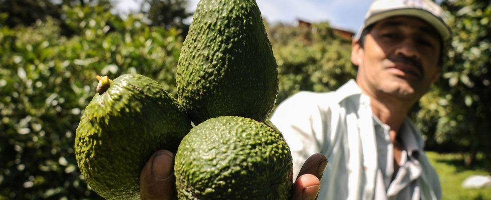 Un productor colombiano de aguacate hass.