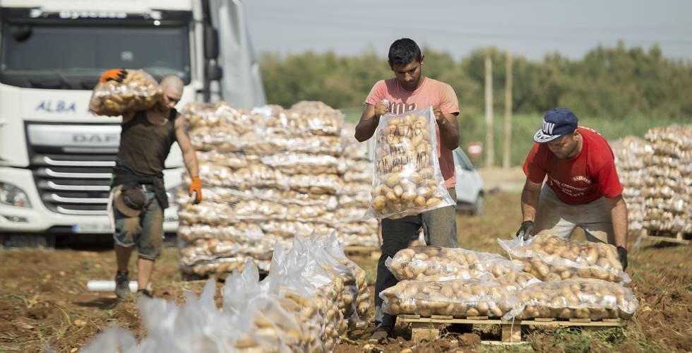 Recogida de patatas en una finca de la localidad sevillana de La Rinconada.rn