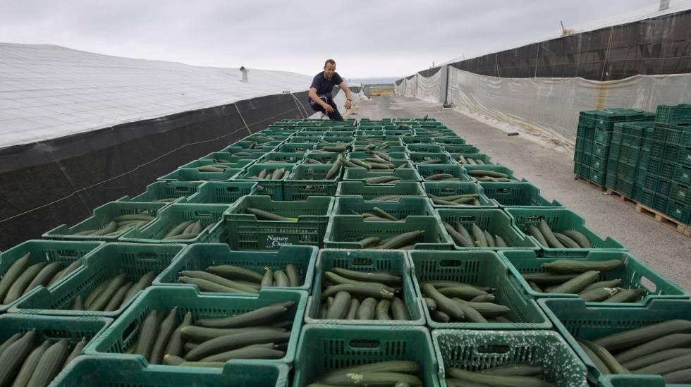 Producción de pepinos entre los invernaderos de El Ejido en 2011, cuando estalló la crisis en Alemania.