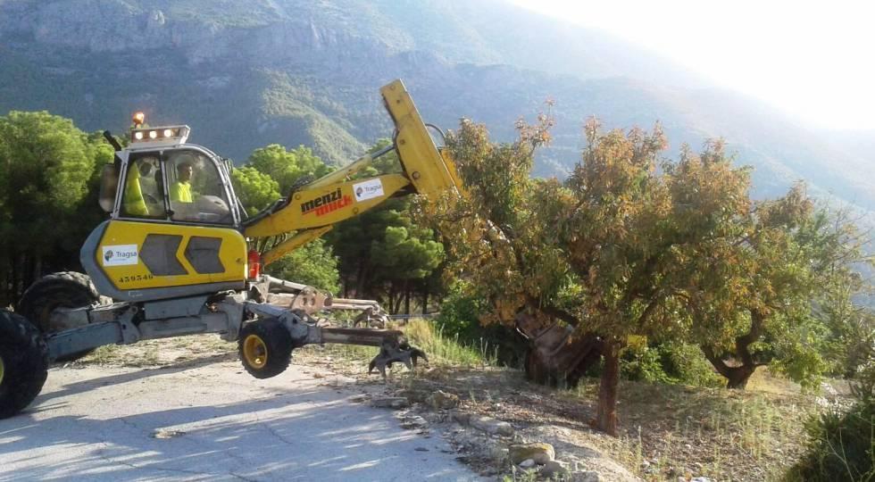Una máquina excavadora arranca un ejemplar de almendro infectado por la bacteria Xylella en Alicante.