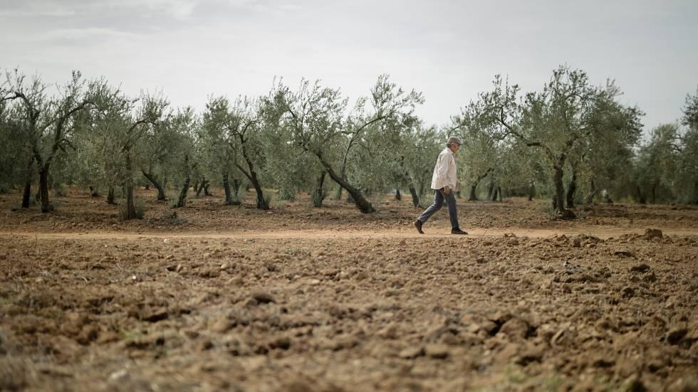 Un olivar en Sevilla agostado por la sequía en octubre.