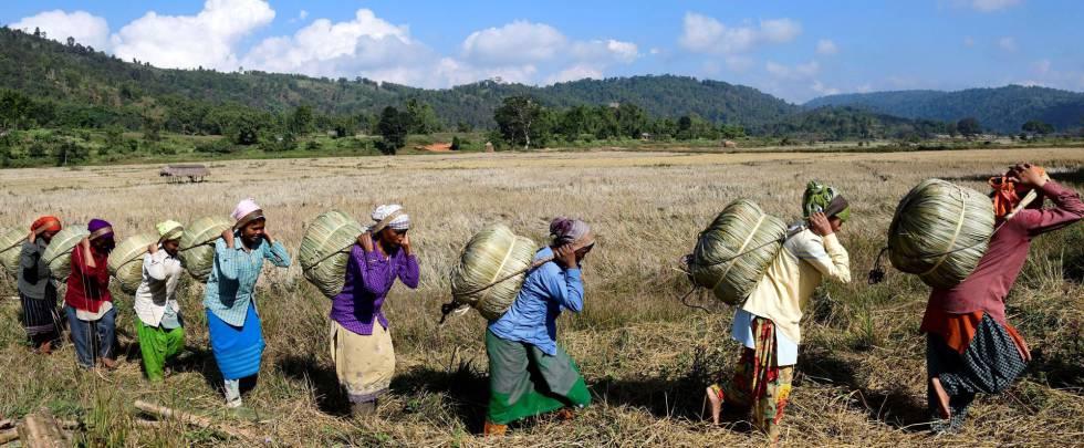 Mujeres de la tribu Tiwa transportan Maiphurs (bolsas de arroz) en su granja en el distrito de Karbi Anglong, en el estado de Assam (India).