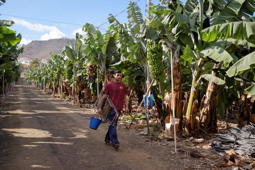 Un joven grancanario trabaja en una plantación de plátanos.