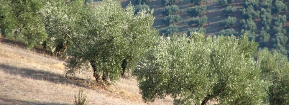 Un olivar en la provincia de Jaén.