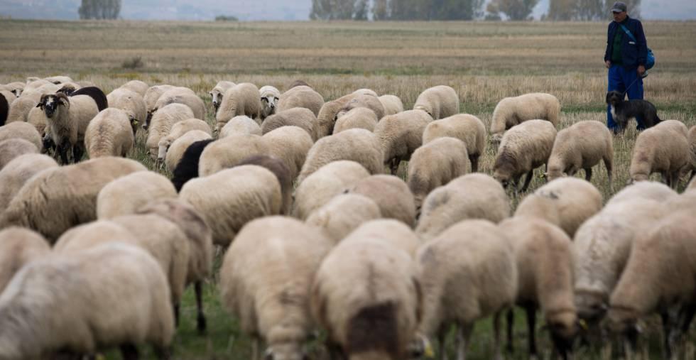 Pastor de la ganadería de los hermanos Izquierdo en la localidad madrileña de Fuente el Saz del Jarama.