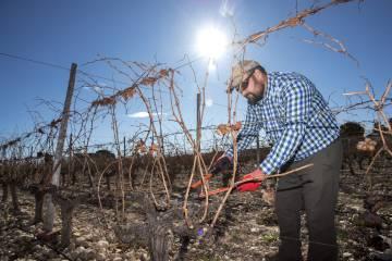 Enrique Sánchez in his vineyard in Novelda (Alicante).