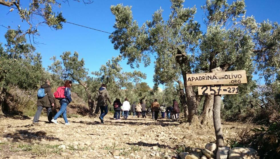 Varios de los padrinos visitan Oliete para conocer su olivo.