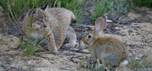 A rabbit disease is pushing lynxes further afield to seek food.