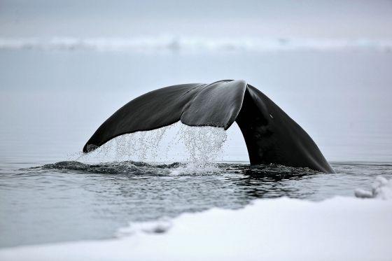 La ballena de Groenlandia es el mamífero más longevo que se conoce.