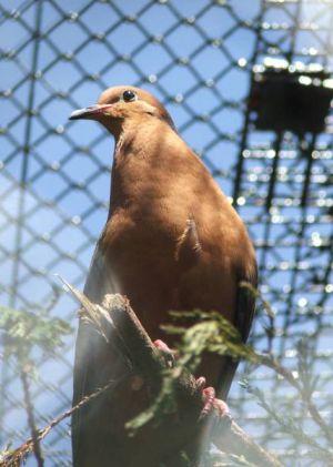 La tórtola de Socorro ya no vive en estado salvaje. Solo unos pocos centenares sobreviven en cautividad.