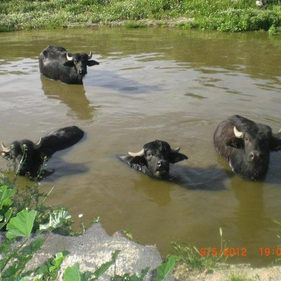 A qué sabe la carne de búfalo? | Blog Gastronotas de Capel | EL PAÍS