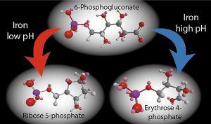 Una de las reacciones del metabolismo primitivo; a la izquierda, a bajo pH se forma ribosa, un componente de los genes; a la derecha, a alto pH se forma eritrosa, precursor de las proteínas.