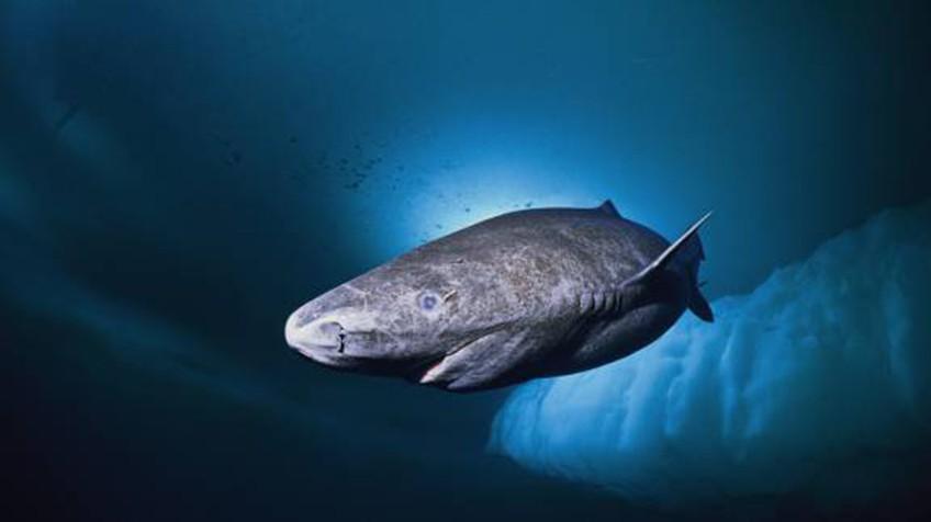 O tubarão que vive há quatro séculos