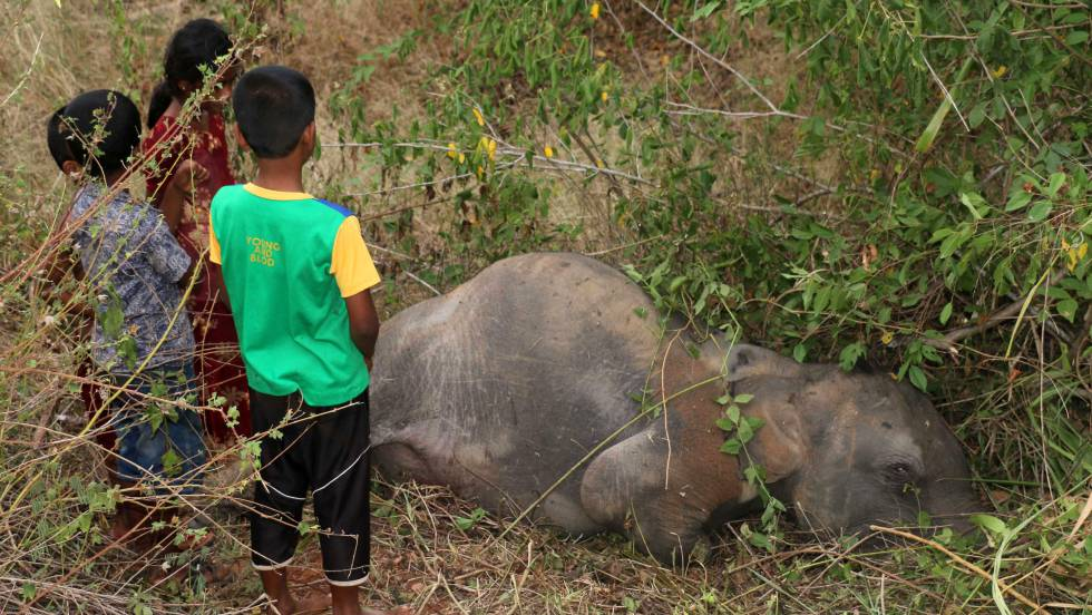 O corpo de um elefante no Sri Lanka.