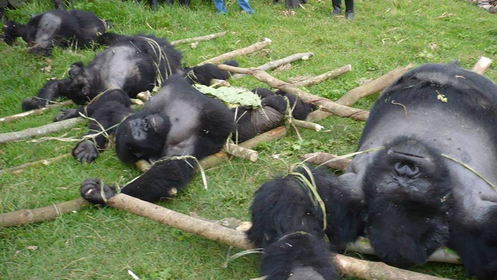 Cuatro de las seis especies de grandes simios ya están al borde de la extinción