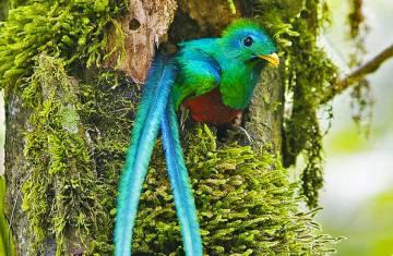 Ejemplar De Quetzal Macho En El Nido