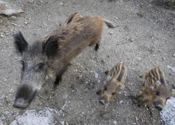 Wildlife in Spanish cities: Wild boars close in on Spanish