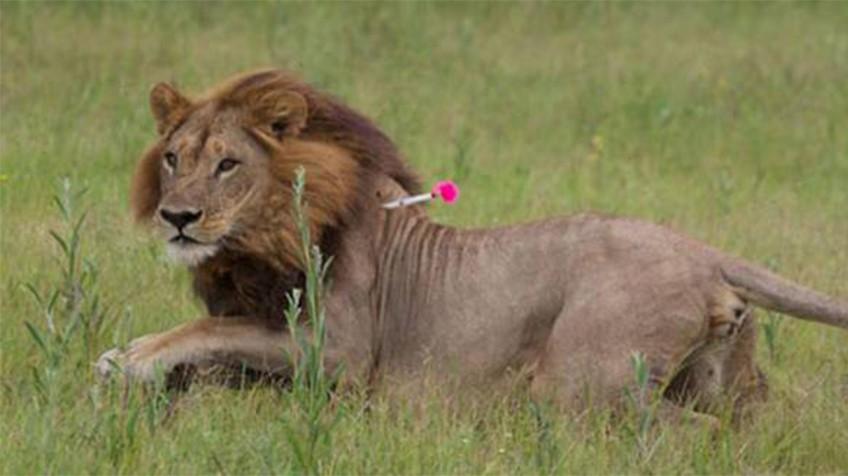 Uma das leoas com juba de leão estudadas em Botsuana, durante sua captura.