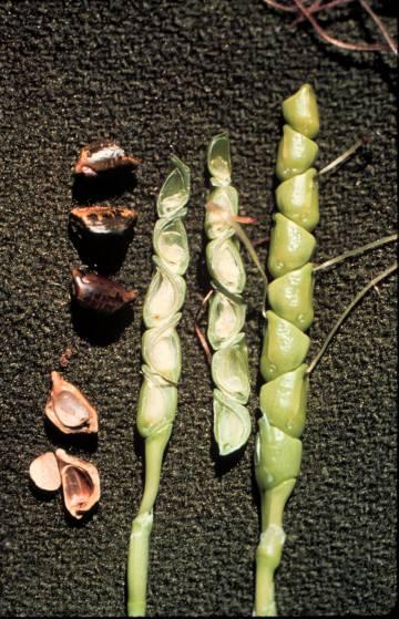 Una mazorca de 5 000 años cuenta la historia del maíz