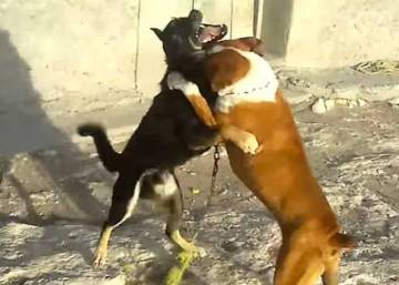 Animal rights: Is Mexico about to ban dog fighting for good? | In