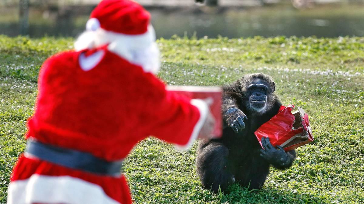 papa nel entrega un regalo de navidad a un chimpanc