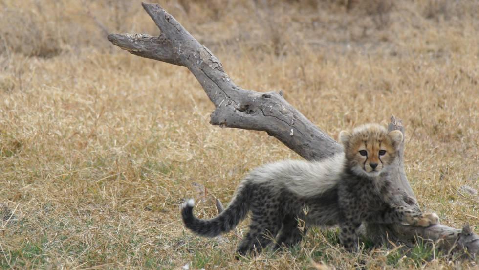 La población de guepardos dentro de las áreas protegidas es estable con una ligera tendencia al alza.